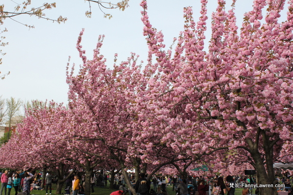 櫻花 Sakura cherry blossom at Brooklyn Botanic Garden