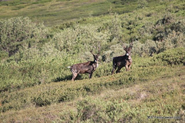 Alaska Denali National Park Wildlife Animal 阿拉斯加德納利國家公園野生動物